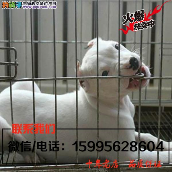 齐齐哈尔出售精品杜高犬/送货上门/质保一年