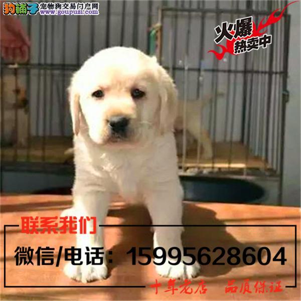 大庆市出售精品拉布拉多犬/送货上门/质保一年