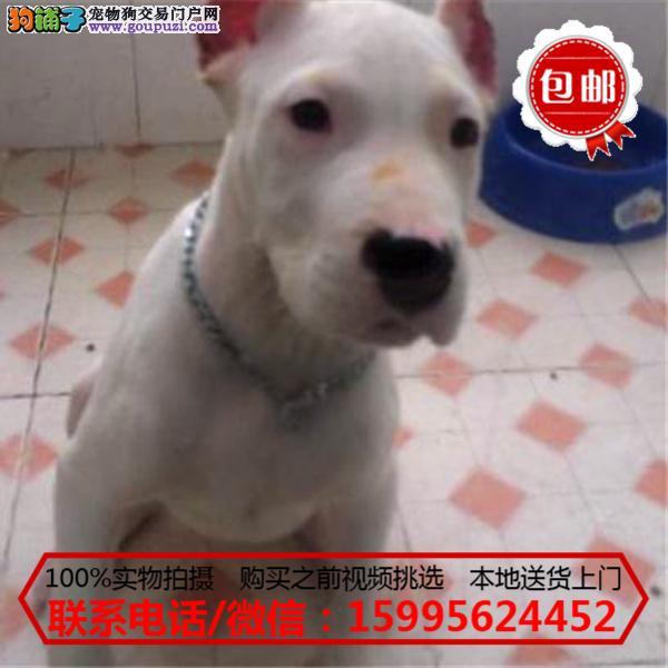 巴音郭楞出售精品杜高犬/质保一年/可签协议