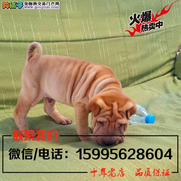 济南市出售精品沙皮狗/送货上门/质保一年