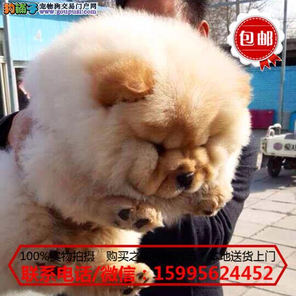常德市出售精品松狮犬/质保一年/可签协议