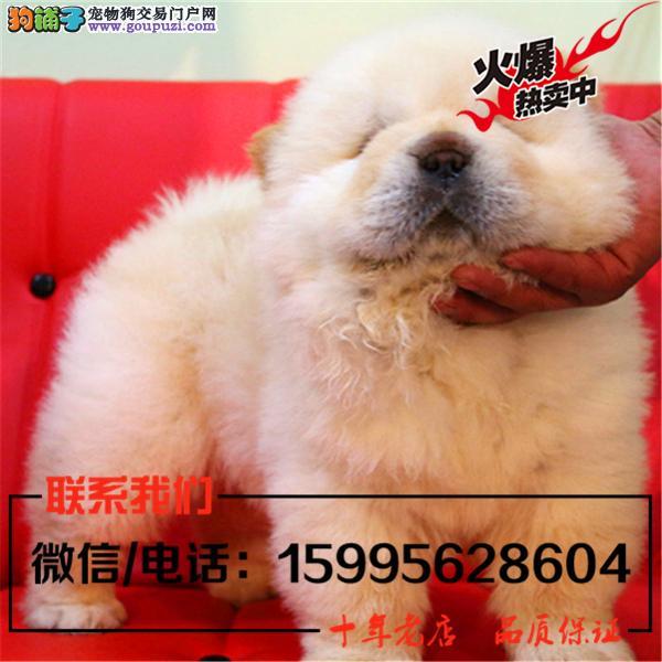 张家界市出售精品松狮犬/送货上门/质保一年