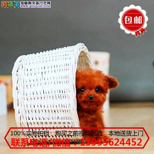 鞍山市出售精品泰迪犬/质保一年/可签协议