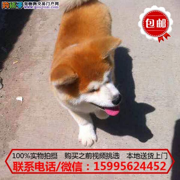 锦州市出售精品秋田犬/质保一年/可签协议