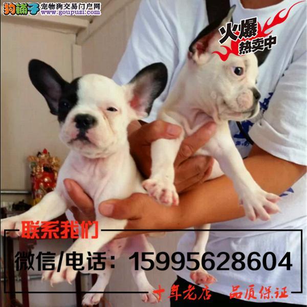 葫芦岛市出售精品法国斗牛犬/送货上门/质保一年