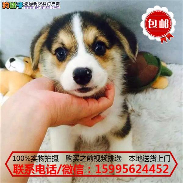 昌江县出售精品柯基犬/质保一年/可签协议