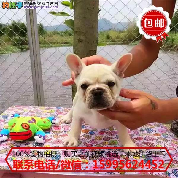 昌江县出售精品法国斗牛犬/质保一年/可签协议