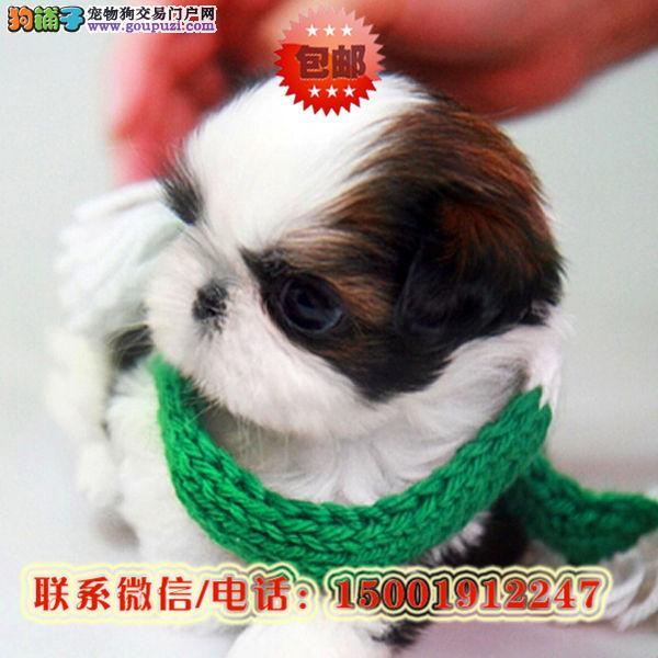 来朝阳区购买西施犬/信誉保障/加微信挑选