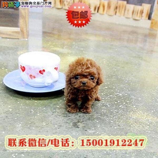 来和平区购买泰迪犬/信誉保障/加微信挑选