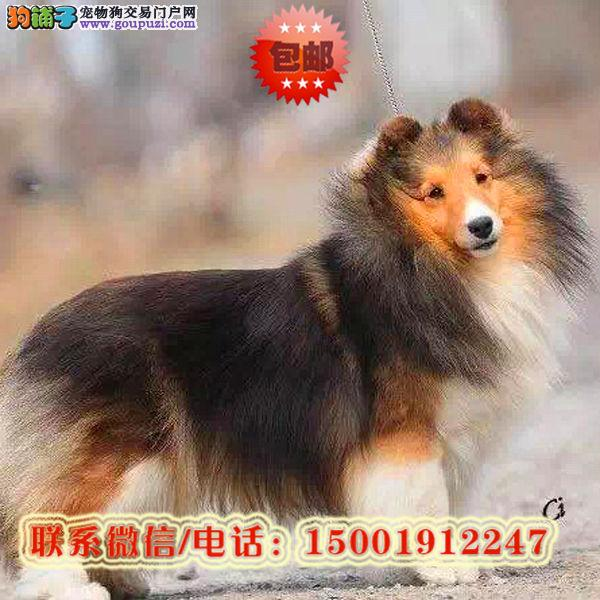 来杭州市购买苏格兰牧羊犬/信誉保障/加微信挑选