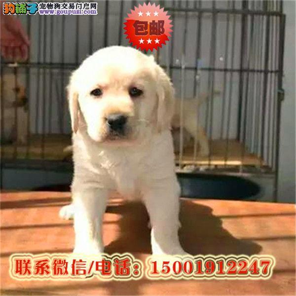 来郑州市购买拉布拉多犬/信誉保障/加微信挑选