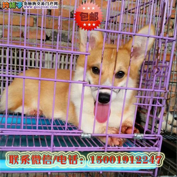 来哈尔滨市购买柯基犬/信誉保障/加微信挑选