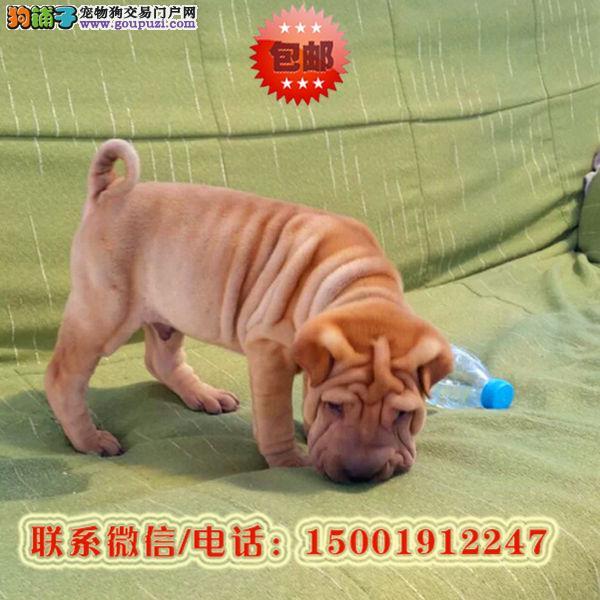 来长沙市购买沙皮狗/信誉保障/加微信挑选