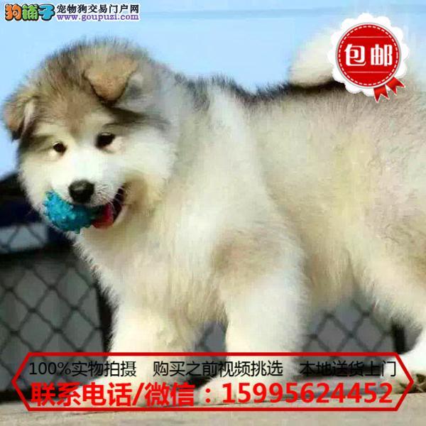 黔东南州出售精品阿拉斯加犬/质保一年/可签协议
