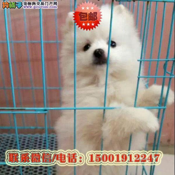 来贵阳市购买博美犬/信誉保障/加微信挑选