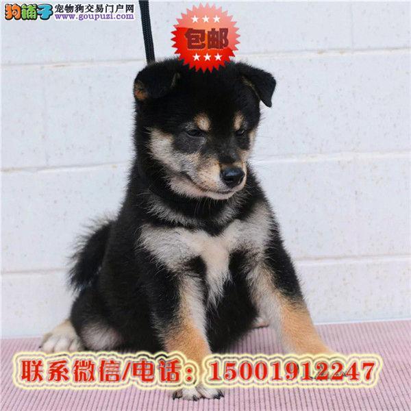 来西宁市购买柴犬/信誉保障/加微信挑选
