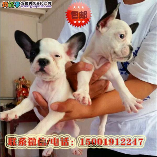 来西宁市购买法国斗牛犬/信誉保障/加微信挑选