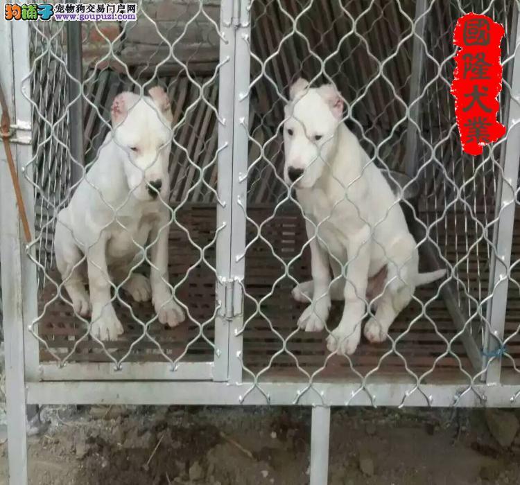 杜高犬 专业杜高犬繁育场大头版杜高犬