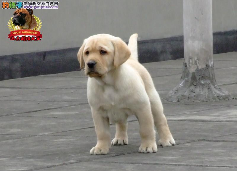 拉布拉多犬专业拉布拉多犬繁育场