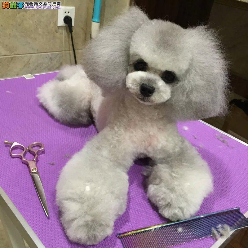 专业正规大型繁殖泰迪犬舍,常年出售纯种泰迪,颜色全