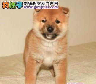 精品柴犬幼犬一对一视频服务买着放心大理州当地上门挑选