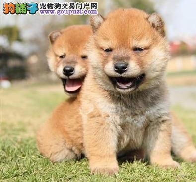 出售高品质柴犬,CKU认证犬舍,三年联保协议