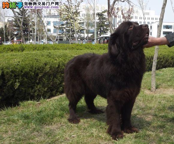 品质健康有保障广东纽芬兰犬热卖中保终身送用品