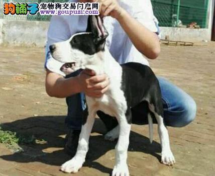 冠军级后代大丹犬,CKU认证血统纯正,当天付款包邮