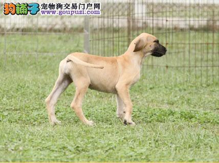 纯种大丹犬幼崽 国际血统品质保障 签订终身合同