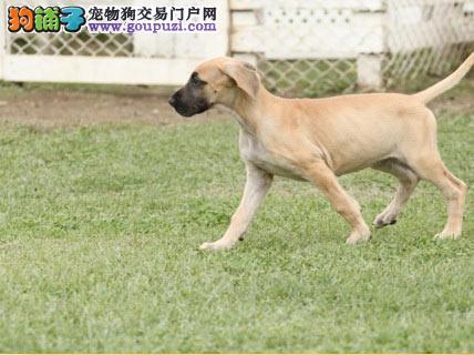 专业正规犬舍热卖优秀吐鲁番大丹犬签正规合同请放心购买