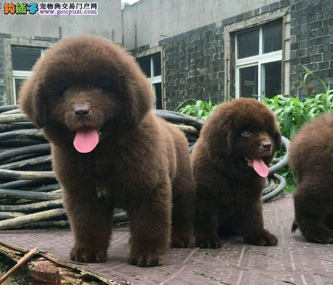 家养极品纽芬兰犬出售 可见父母颜色齐全爱狗人士优先狗贩勿扰