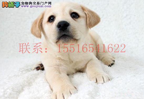 河南哪里有卖拉布拉多犬的 那里的拉布拉多犬比较好