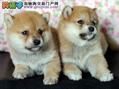柴犬 顶级柴犬 比较好的柴犬多少钱一只