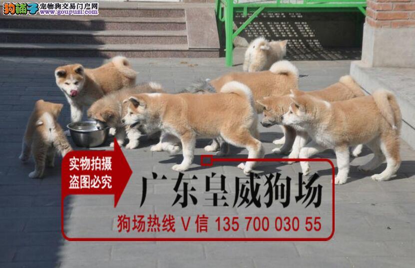 日本引进秋田犬 签合同保纯种健康 可送狗上门挑选
