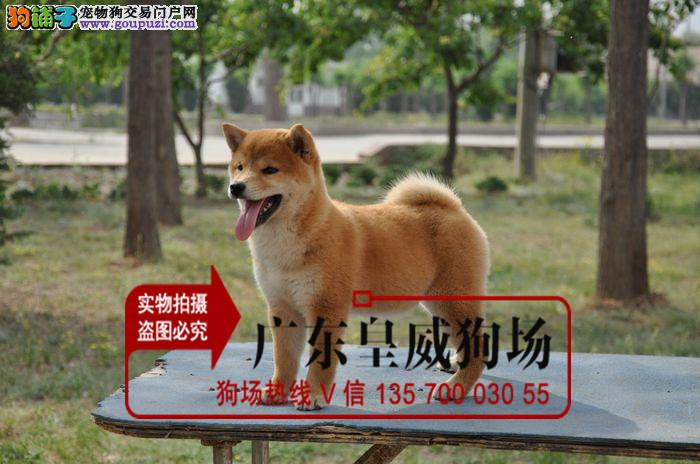 纯种柴犬 健康小柴幼犬待售中 三个月健康保障 签合同
