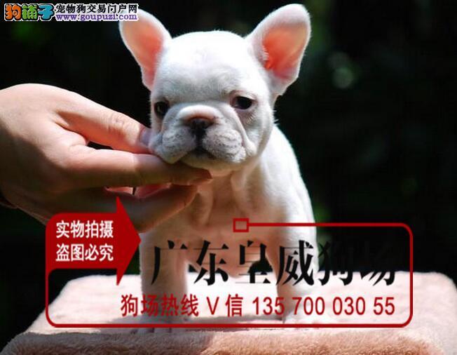 正规犬场售法国斗牛犬 英国斗牛犬实物拍摄签协议