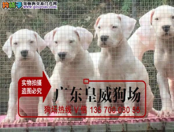 高端品质 杜高猎犬 现货狗场直销纯正血统杜高幼犬