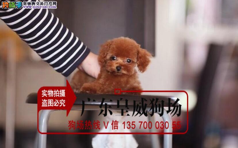 实物照片泰迪犬 韩国血统 颜色齐全 保纯种和健康