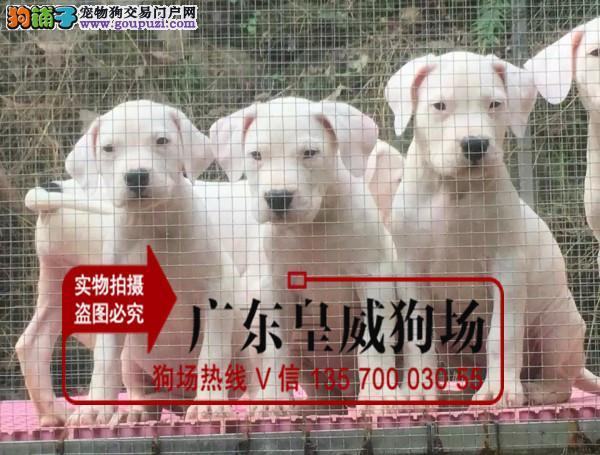纯正阿根廷进口杜高猎犬 大骨量幼犬 质量保证 可送货