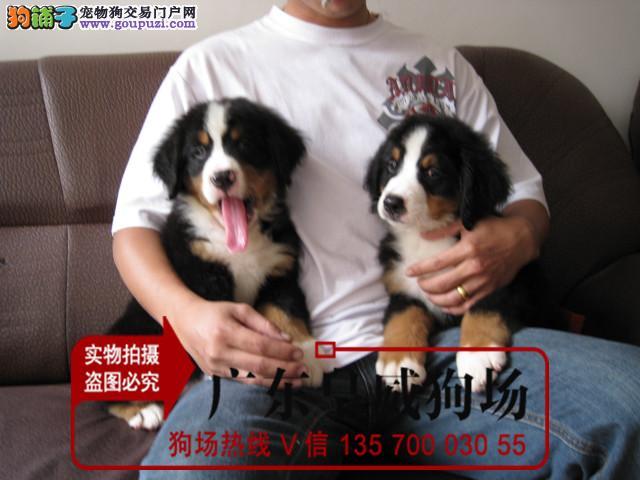 出售伯恩山犬 纯种瑞士伯恩山 狗场挑选 包健康血统