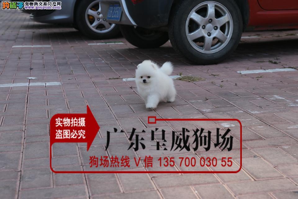 诚信买卖 纯种博美犬出售、签质保协议、育苗齐全