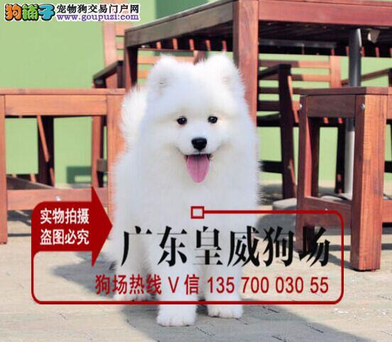 冠军级血系大白熊幼犬正规签协议健康纯种血统高贵质