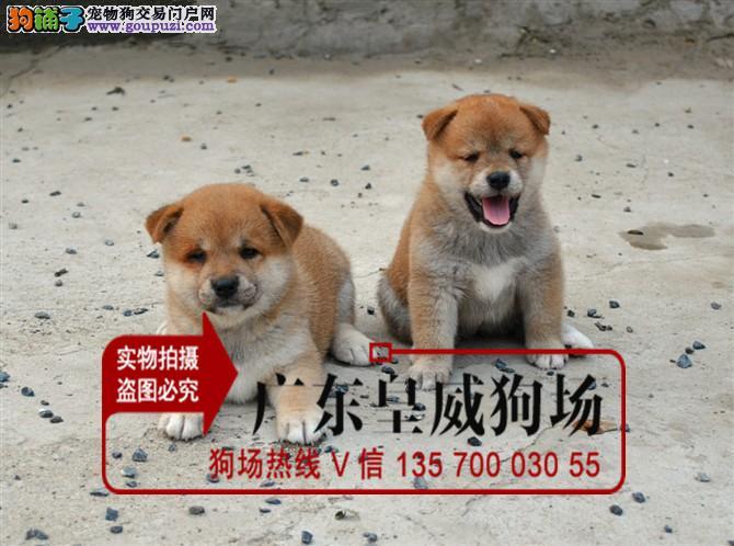 专业繁殖出售高智商日本柴犬幼包纯种健康欢迎上门选购
