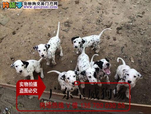 纯种犬繁殖基地出售顶级精品大麦町幼犬 签订活体协议