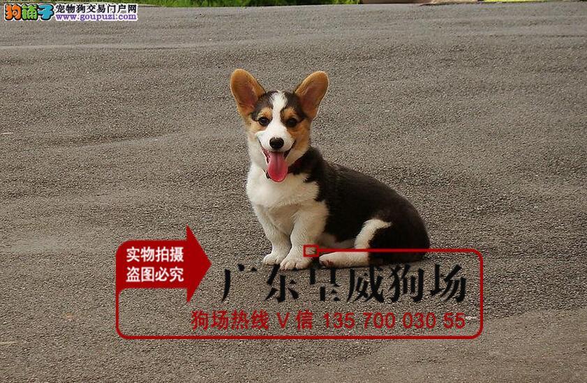 精品柯基犬赛级犬证书芯片齐全可以签订协议健康保证