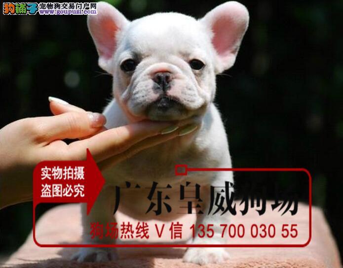 精品英、法国斗牛幼犬保证纯种健康终身质保欢迎上门