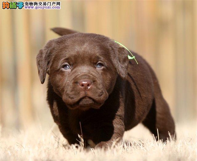 顶级拉布拉多幼幼犬,实物拍摄,包纯种健康,可签协议
