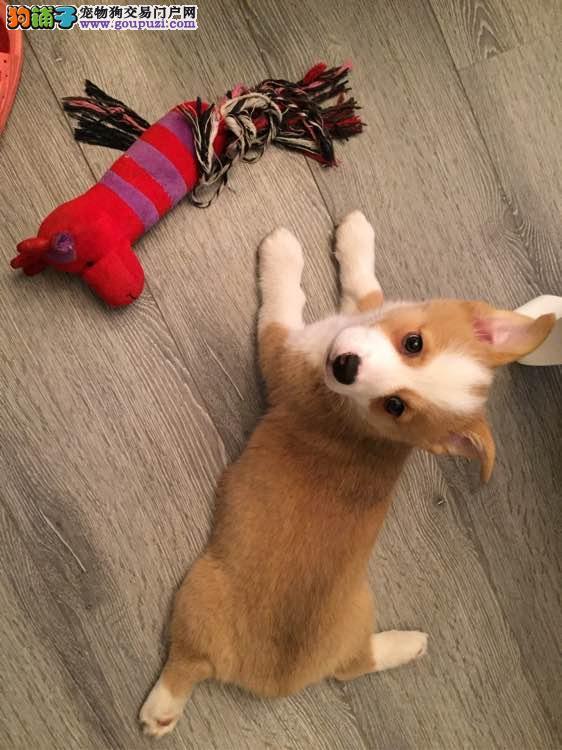 出售纯种柯基犬幼犬 威尔士两色三色柯基宝宝
