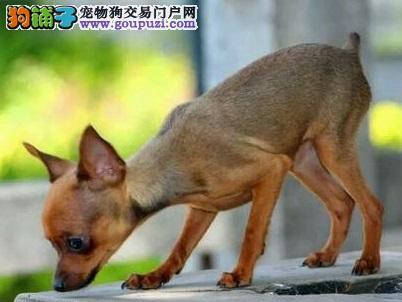 实体店出售精品小鹿犬保健康微信咨询看狗狗照片