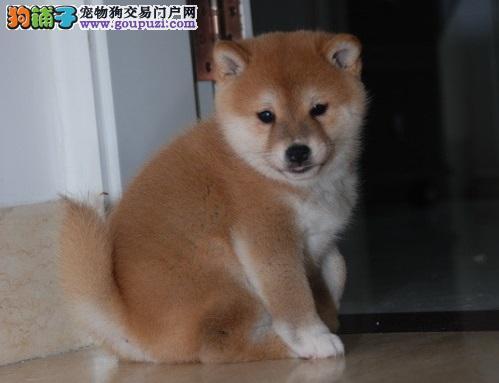 纯种柴犬出售,一宠一证证件齐全,微信咨询看狗